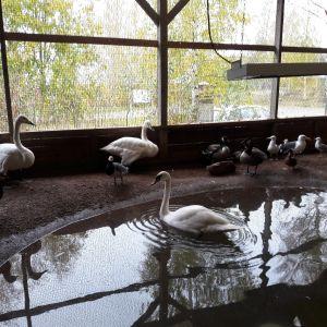 Pyhtään lintuhoitolassa hoidetaan loukkaantuneita luonnonvaraisia lintuja.