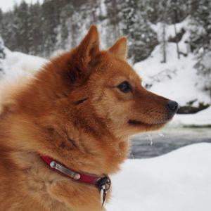 Suomenpystykorva Piitu puolusti omistajaansa sekä omistajan tytärtä karhulta viime syksynä.