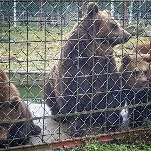 Keväällä syntyneet kaksoispennut Ansa ja Tara painavat jo 40 kiloa.