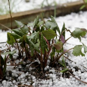 Pieni vihreä kasvi rakeiden keskellä lähikuvassa.