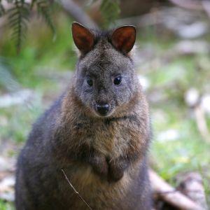 Vallabi Australian Tasmaniassa.
