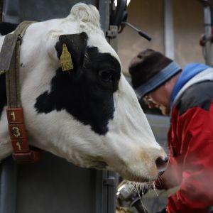 Lehmä katsoo kun sen sorkkaa hiotaan