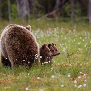 Karhuemo kolmen poikasen kanssa
