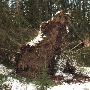 Myrskyssä kaatunut puu