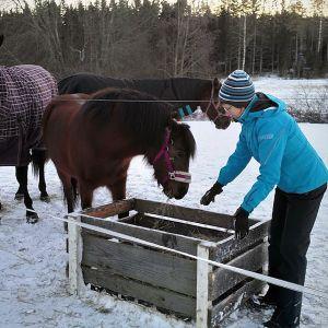 Virpi Norja laittaa heiniä täyshoitotallin hoidokeille Ilmajoen Huissilla.