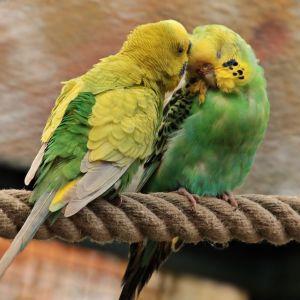 Kaksi köydestä tehdyllä orrella istuvaa undulaattia sukii toisiaan.