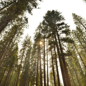 Metsää Yosemiten kansallispuistossa Kaliforniassa.