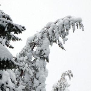 Tykkylunta puiden latvoissa