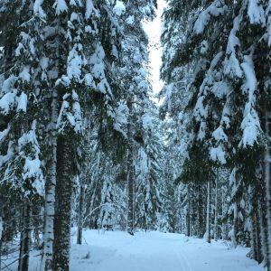 Lumen taivuttamia puita Imatralla Lammassaaren hiihtoladulla.