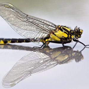 Sudenkorento (Odonata).
