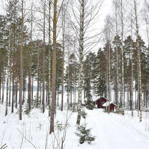 Nuoria koivuja ja mäntyjä talvisessa maisemassa