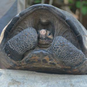 Chelonoidis phantasticus -lajin edustaja on siirretty Santa Cruzin saarella sijaitsevaan lisääntymiskeskukseen.