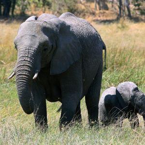Botswanassa elää Afrikan suurin norsupopulaatio.