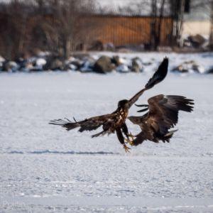 Nuoria merikotkia Vaasan Varisselällä perjantaina 22. helmikuuta Göran Puution kuvaamana.
