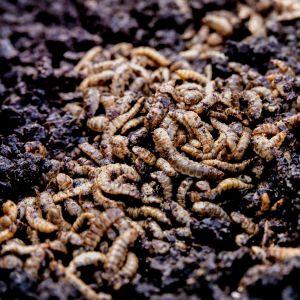 Mustasoturikärpäsen toukkia ruokailemassa.