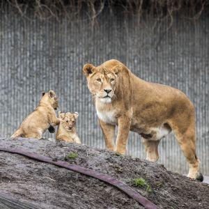 Nämä leijonat ovat Kööpenhaminan eläintarhasta. Pennut ulkoilivat ensimmäistä kertaa 19. helmikuuta.