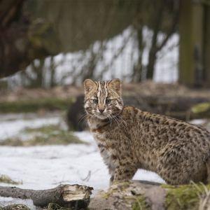Kissalaakson uusi asukas, amurinleopardinkissauros.