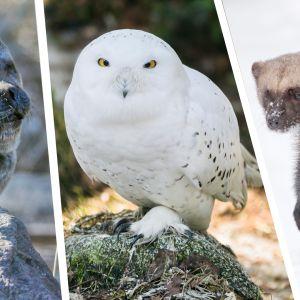 Saimaannorppia arvioidaan olevan nykyisin vajaat 400. Tunturipöllö pesii Suomessa vain satunnaisesti Tunturi-Lapissa.  Ahma esiintyy harvalukuisena Pohjois- ja Itä-Suomen erämaisissa osissa ja satunnaisesti myös maamme sisäosissa.