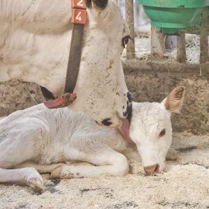 Lapinlehmän vasikka Tervolan louella heti syntymänsä jälkeen.