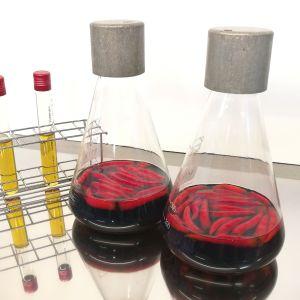 Bakteerin viljelyä laboratoriossa.