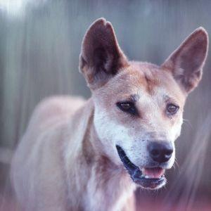 Australian Dingo.