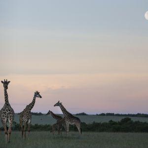 Nämä kirahvit on kuvattu Masai Maran kansallispuistossa Keniassa.