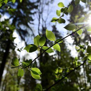 Auringonpaistetta metsässä.