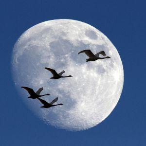 kuu jonka edestä lentää joutsenia