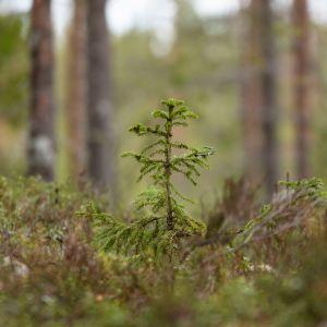 Pieni männyntaimi metsässä.