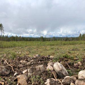 Näkymä Posion yhteismetsän päätehakkuulta toukokuussa 2019. Alempana vihertää vehreänä kymmenkunta vuotta sitten istutettu taimikko.