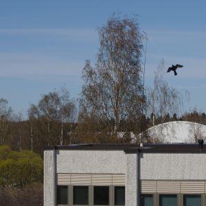 Kokkolan kaupungintalolla liehuu lintukarkote