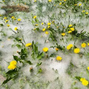 Haapojen siementen lenninkarvoja.