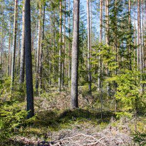 Jatkuvan kasvatuksen metsää