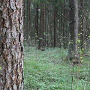 Vanha metsä kilpikaarnamänty