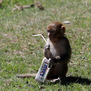 Tämä apinanpoikanen katseli pilliä Khajjiarin turistikohteessa Intian Himachal Pradeshissa maaliskuun lopussa vuonna 2018.