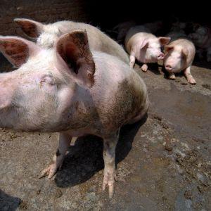 Neljä sikaa.