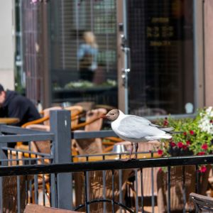 Lokit lentävät Kauppurienkadun teraasien yllä ja nappaavat  ruokaa lautasilta.