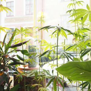 Tallinnan vanhassa kaupungissa sijaitsevan Sativa Storen näyteikkuna on täynnä hamppukasveja.