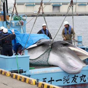 Tapettu valas nostoverkossa kalastusaluksen kannella.