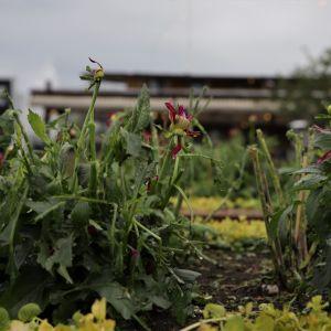 Raekuuro tuhosi kukkaistutuksia Lappeenrannan satamassa.