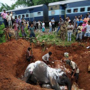 Kyläläiset hautasivat kuolleen norsun, joka oli törmännyt junaan. Kuva Intian koillisosissa sijaitsevasta Kurkruian kylästä vuodelta 2012.
