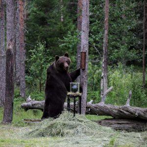 karhu, 360-kamera, insta360 pro, metsä, karhun ruokinta, kelo