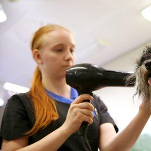 Trimmaaja Elisa Kutramoinen föönaa Rex-koiraa trimmaamisen yhteydessä Espoon Suomenojan Mustissa ja Mirrissä heinäkuussa 2019.