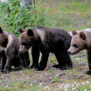 Raatteessa otettu kuva kolmesta karhunpennusta.