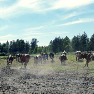 Lehmiä laitumella lehmät kirmaavat ja juoksevat kesä maaseutu maatila maitotila lypsykarja