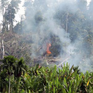 Metsää poltetaan  palmuöljyplantaasin takia Indonesiassa.