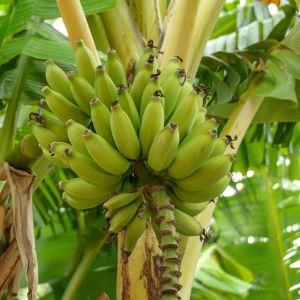 Banaaneja