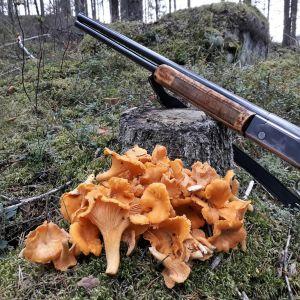 Haulikko ja kanttarelleja syksyisessä metsässä.