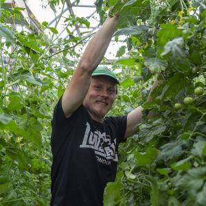 Lassilan tilan isäntä, viljelijä Jukka Lassila laskee alas tomaatintaimia kasvihuoneessa.