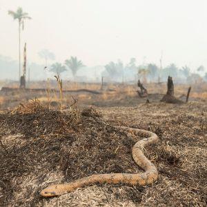 Käärme yrittää päästä pakoon palaneelta maalta Brasilian Rondoniassa.